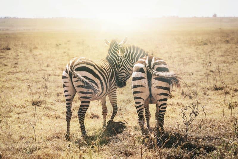 Zebras no amor Masai Mara, Kenya, África foto de stock