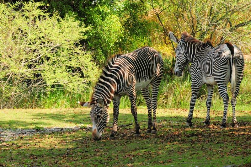Zebras no jardim zoológico imagem de stock royalty free