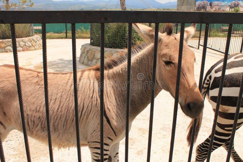 Zebras no jardim zoológico foto de stock