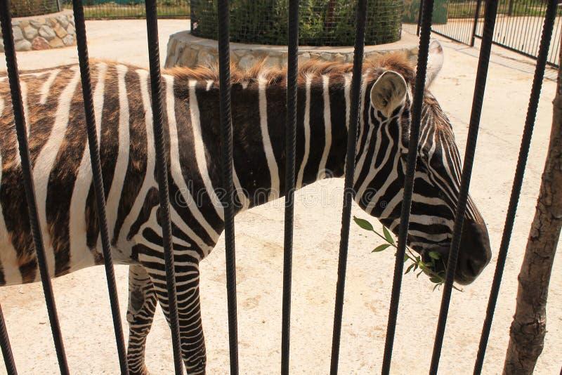 Zebras no jardim zoológico foto de stock royalty free