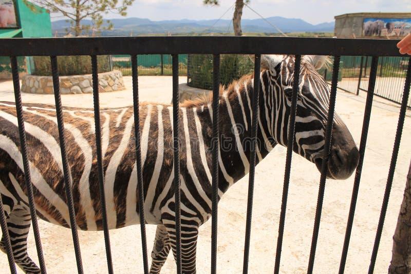 Zebras no jardim zoológico fotografia de stock