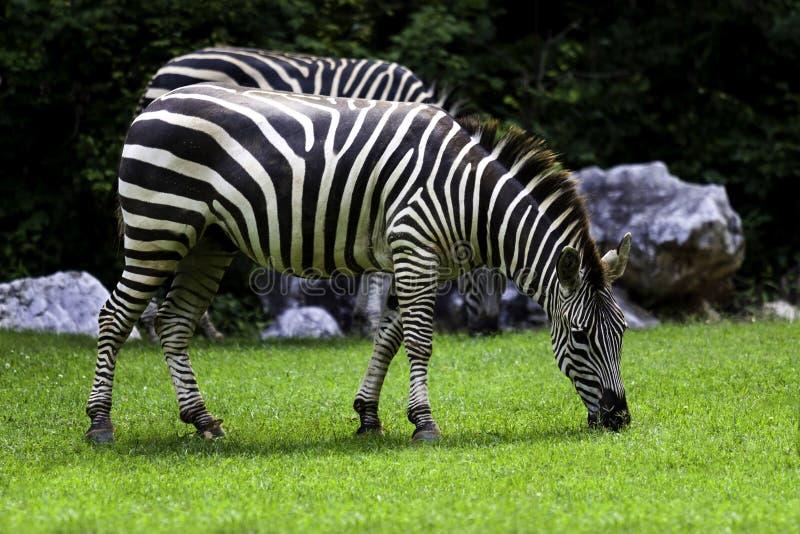 Zebras no jardim zoológico do NC foto de stock