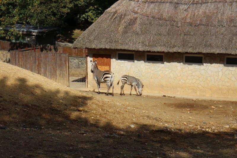 Zebras no jardim zoológico em Bojnice imagens de stock
