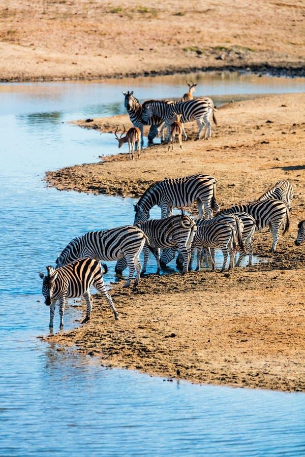 Zebras no parque do safari imagem de stock