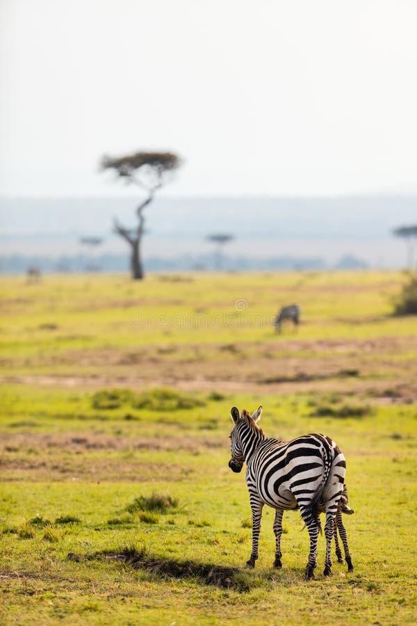Zebras no parque do safari fotos de stock royalty free