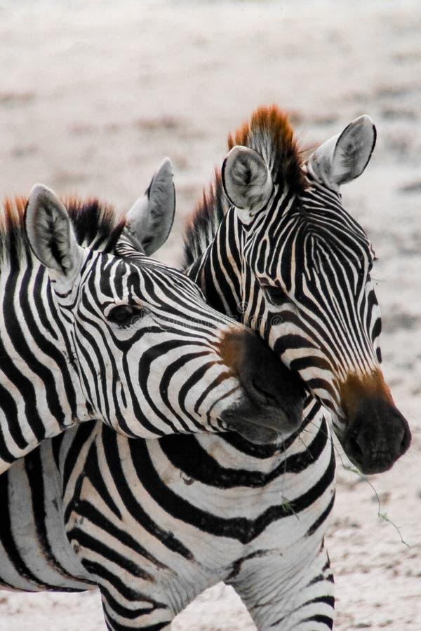 2 zebras no parque nacional África Kenya de Amboseli durante o safari foto de stock royalty free