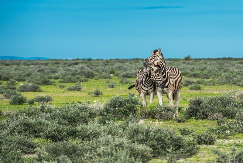 Zebras no parque nacional do etosha, Namíbia imagens de stock