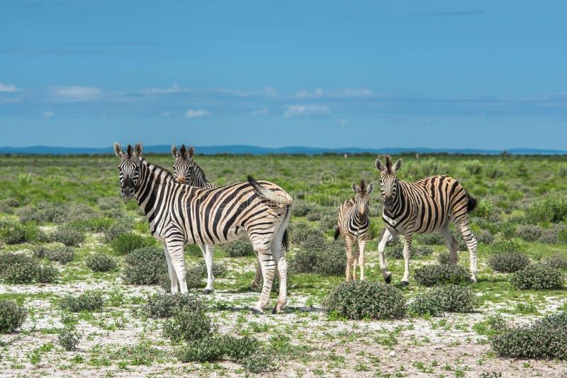 Zebras no parque nacional do etosha, Namíbia fotografia de stock