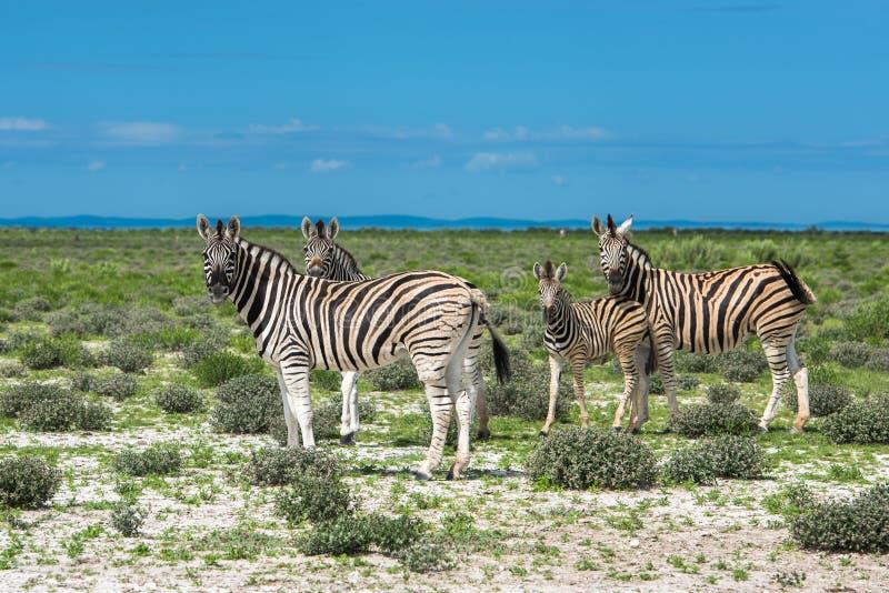 Zebras no parque nacional do etosha, Namíbia imagem de stock