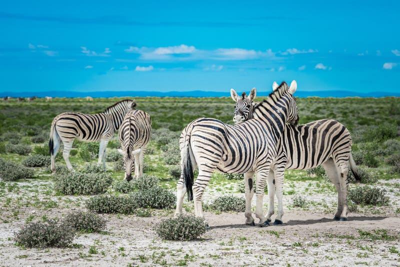 Zebras no parque nacional do etosha, Nam?bia imagem de stock