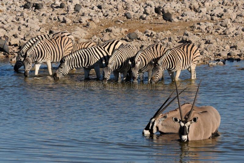 Zebras and Oryx drinking water, Okaukeujo waterhole. Etosha National Park, Namibia royalty free stock photography