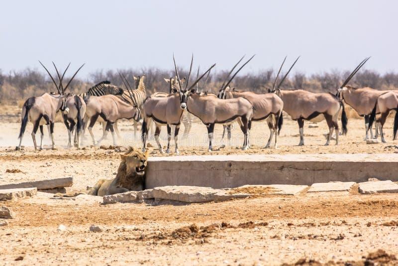 Zebras oryxs lion. Wildlife animals: zebras oryxs looking at a lion at water pool in Namibian savannah of Etosha National Park, Namibia, Africa royalty free stock photo