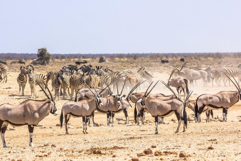 Zebras oryxs Namibia. Wildlife animals: zebras oryxs at water pool in Namibian savannah of Etosha National Park, Namibia, Africa stock photos