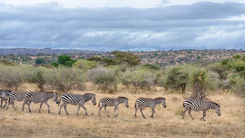 Zebras, parque nacional de Tarangire, Tanzânia, África fotos de stock royalty free