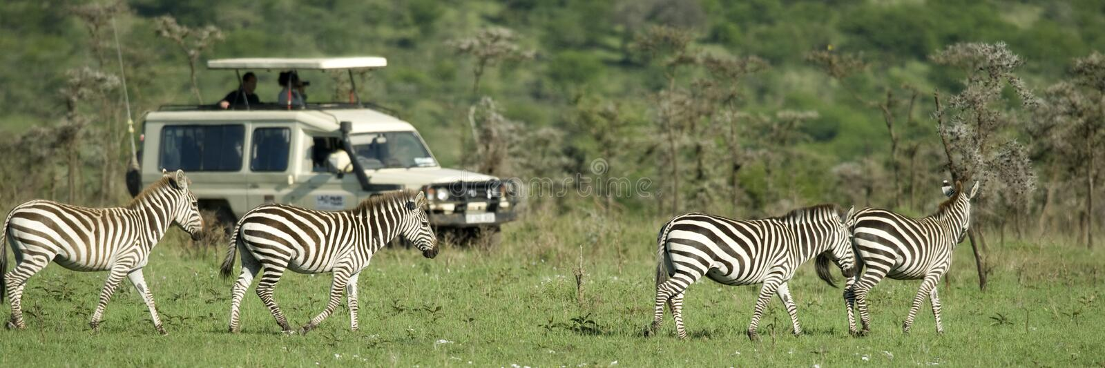 Zebras passing in front of 4X4 stock photo