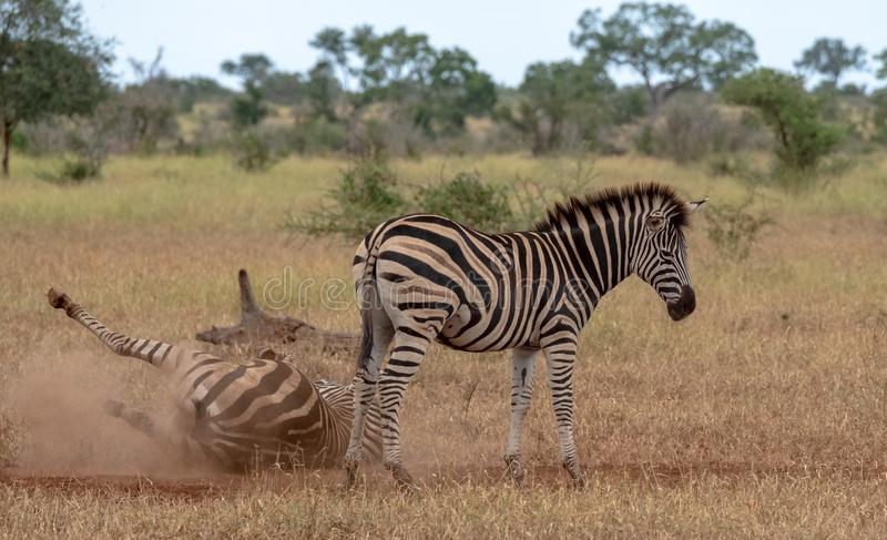 Zebras photographed in the bush at Kruger National Park, South Africa. One zebra scratches itself on the dry ground. Zebras photographed in the bush at Kruger stock image