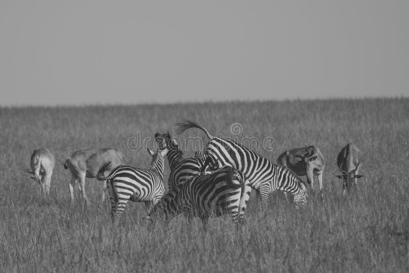 Zebras playing stock photo