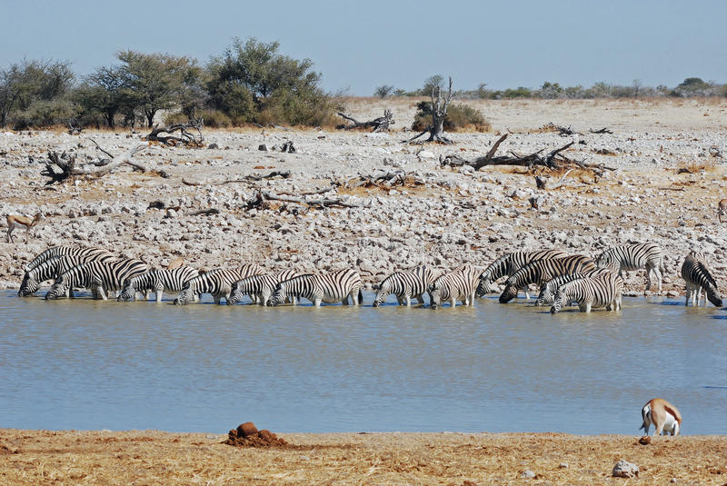 Zebras with pond water in Etosha National Park - Namibia. Etosha National Park , Namibia, Zebras, large group in dry landscape with pond, water, bushes, Africa stock photo