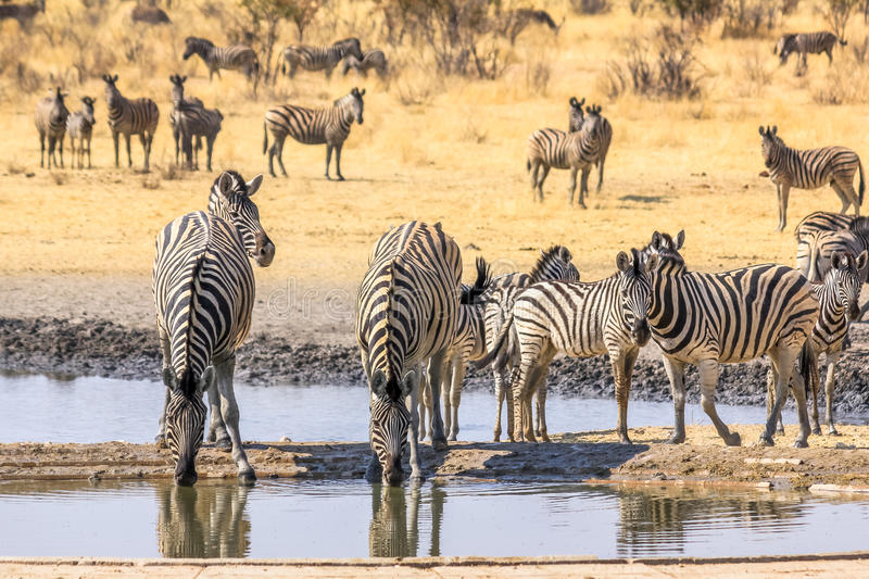 Zebras at pool. Herd of african zebras resting at the pool of Etosha National Park, Namibia stock photo