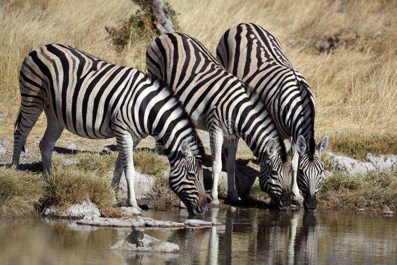 Zebras por um waterhole, Etosha, Namíbia foto de stock royalty free