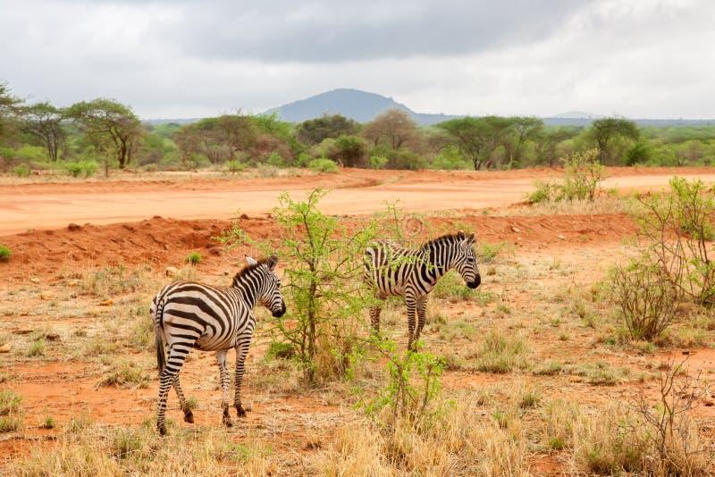 Zebras que andam afastado, cenário de Kenya imagem de stock