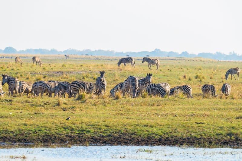 Zebras que andam no banco de rio de Chobe no luminoso no por do sol Luz solar colorida cênico no horizonte Cruis do safari e do b imagens de stock royalty free