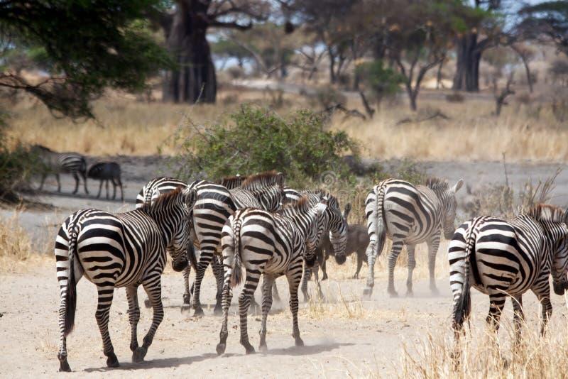 Zebras que apressam-se para baixo aos rios fotografia de stock royalty free