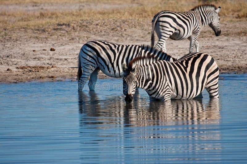 Zebras que bebem no waterhole imagens de stock royalty free