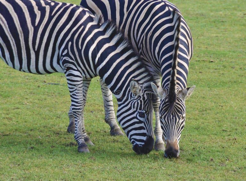 Zebras que pastam imagem de stock royalty free