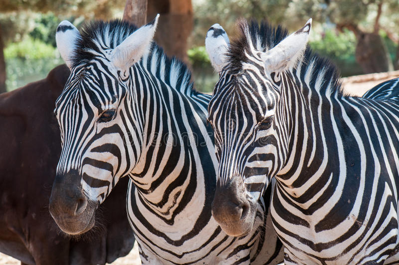 Zebras in a row sleeping royalty free stock image