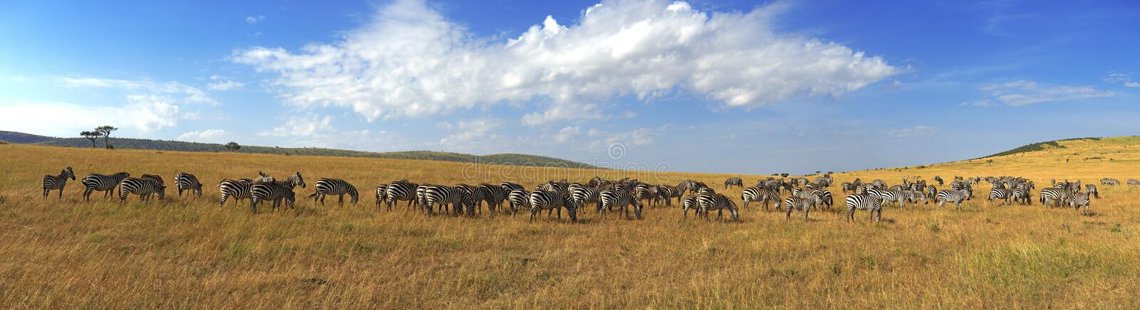 Zebras in a row walking in the savannah in Africa royalty free stock photo