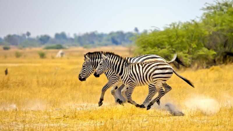 Zebras running fotografia de stock royalty free