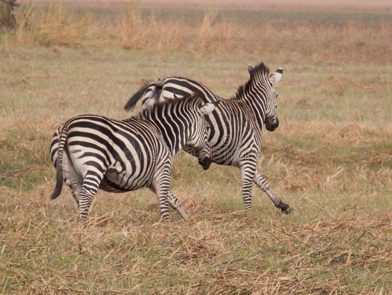Zebras Running fotografia de stock