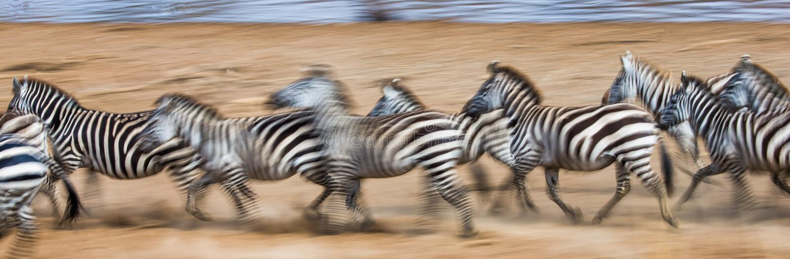 Zebras are running in the dust in motion. Kenya. Tanzania. National Park. Serengeti. Masai Mara. An excellent illustration stock photo