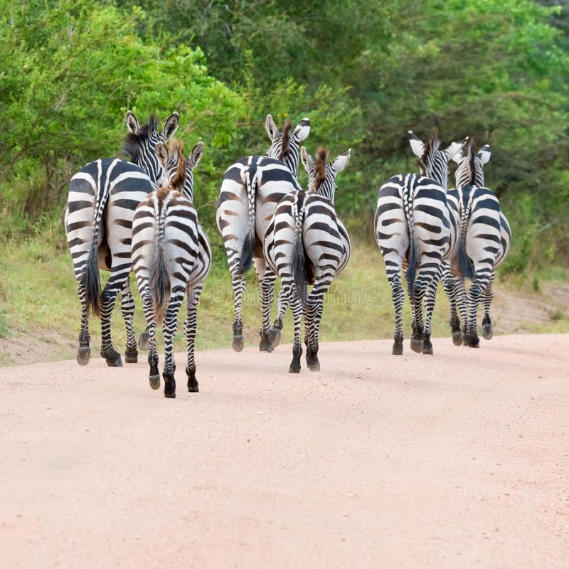 Zebras running on a path showing backsides in Uganda, Africa royalty free stock images