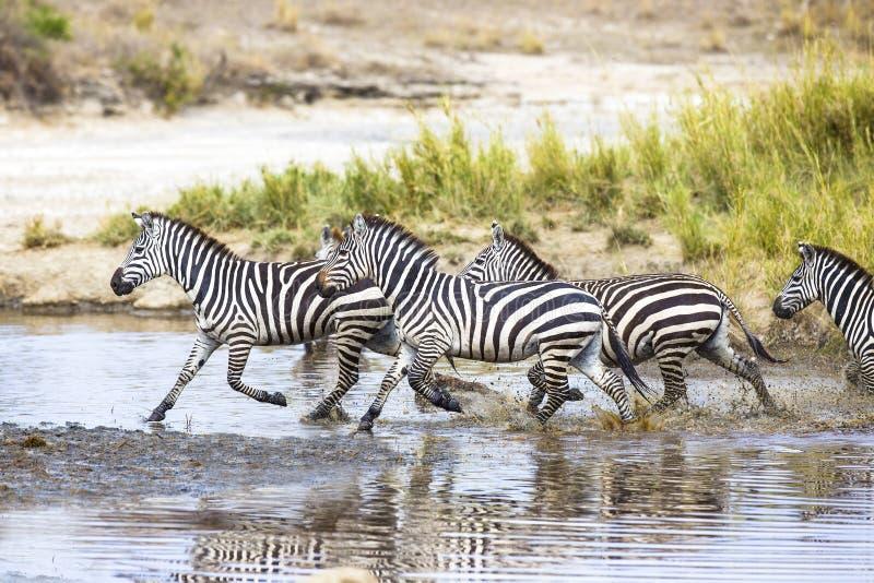 Zebras Running Through Water Zebras Runs In The Wat...