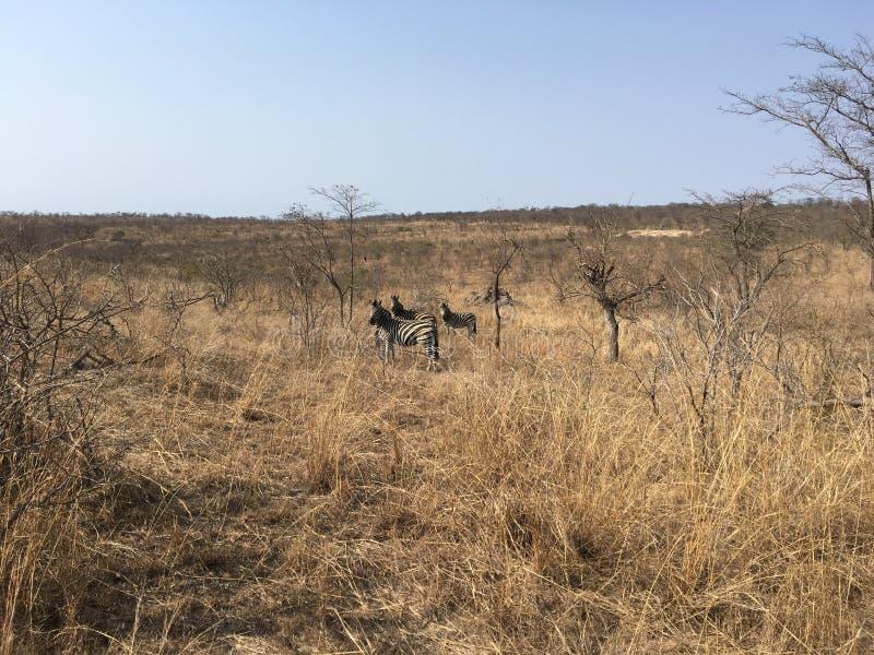 Zebras in Südafrika - zebras in Southafrica. Zebras in Südafrika im Krüger Nationalpark - zebras in Southafrica in Kruger National Parc royalty free stock photography