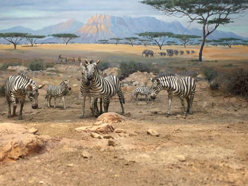 Zebras In Sahara Free Public Domain Cc0 Image