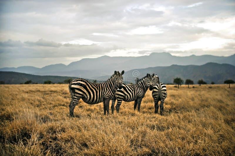 Zebras in the Savanna stock photos