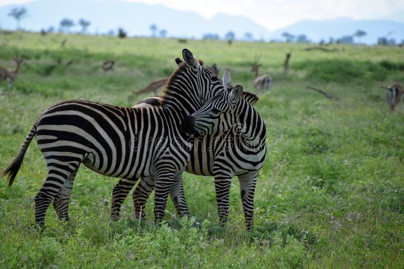 Zebras on the savanna, Africa, Kenya. Two zebras on the african savanna. Zebras are several species of African equids, united by their distinctive black and stock photo