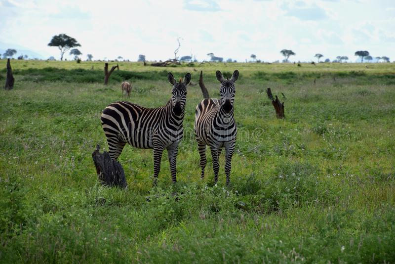 Zebras on the savanna, Africa, Kenya. Two zebras on the african savanna. Zebras are several species of African equids, united by their distinctive black and royalty free stock images