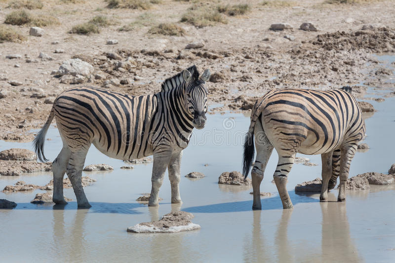 Zebras in the savannah royalty free stock images