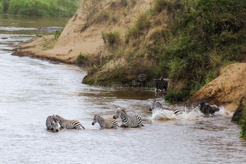 Zebras schwimmen zur anderen Seite Mara Rivers Kenia, Afrika lizenzfreies stockbild