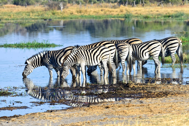 Zebras selvagens fotografia de stock