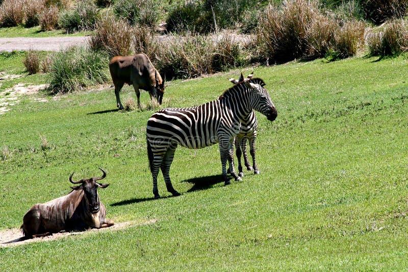 Zebras selvagens imagens de stock