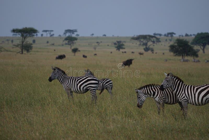 Zebras in Serengeti stock afbeeldingen