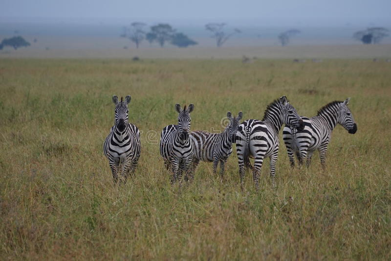Zebras in Serengeti stock afbeelding