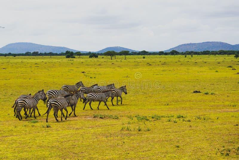 Zebras in Serengeti lizenzfreie stockfotos