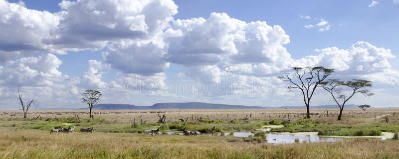 Zebras in Serengeti Nationaal Park, Tanzania royalty-vrije stock afbeelding