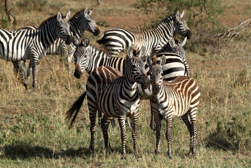 Zebras in the Serengeti Savannah royalty free stock photo
